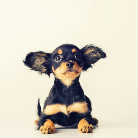 Funny young puppy of Russian toy terrier on a white background. - image