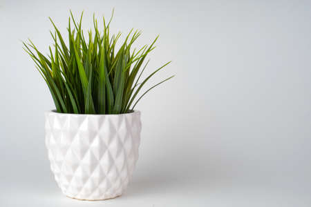 Decorative grass tree planted white ceramic pot isolated on white background.