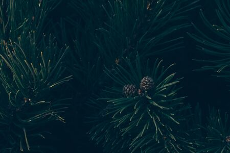 Forest background - fir or pine branches with cones close-up. Dark style, close-up Imagens