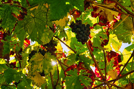 Grapes of red wine with autumn-colored leafs and the sun shining through.
