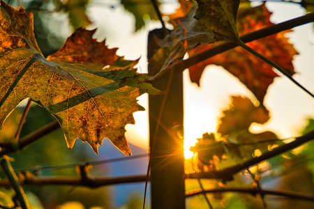 Autumn-colored wine leafs with the sun shining through