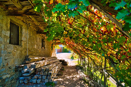 A roof made out of vine and Autumn-colored wine leafs Standard-Bild