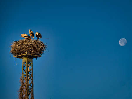 Three young storks competing about the best place in the, now too-small, nest. Standard-Bild