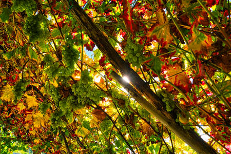 Grapes of white wine with autumn-colored leafs and the sun shining through