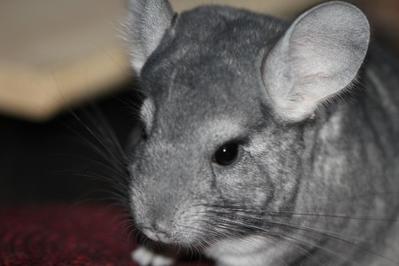 Funny chinchilla photo