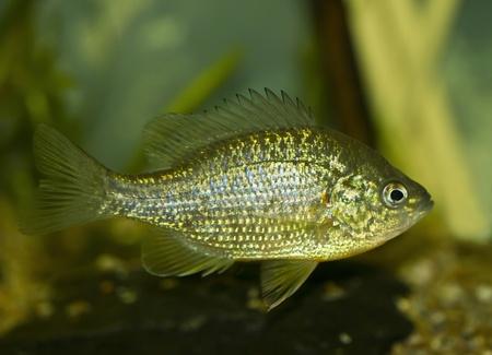 Sunfish (Lepomis macrochirus) photo