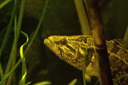 Predatory fish photo