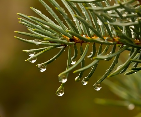 Drops of rain on the branches of firs photo
