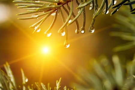Drops of rain on the branches of firs