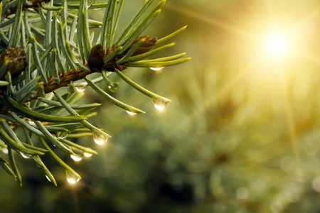 dew: Drops of rain on the branches of firs