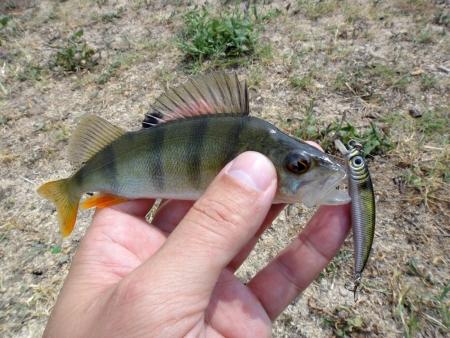 daurade: Perch fish