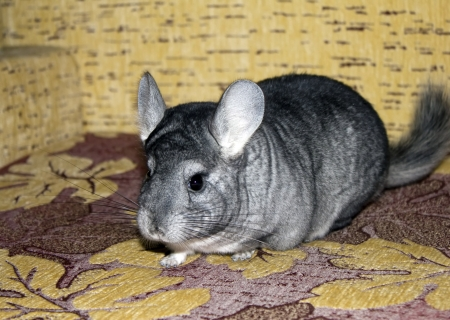 chinchilla: Funny chinchilla