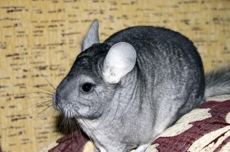 provable: Funny chinchilla