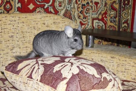 Funny chinchilla photo