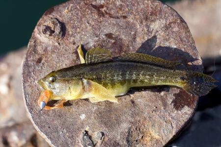 Sea predatory fish Stock Photo