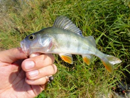 greenling: Perch fish