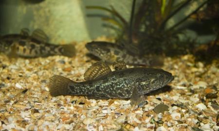 greenling: Predatory fish