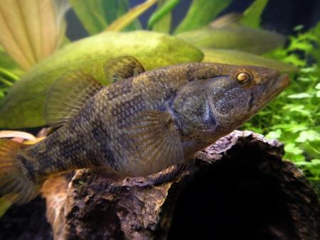 jigging: Predatory fish