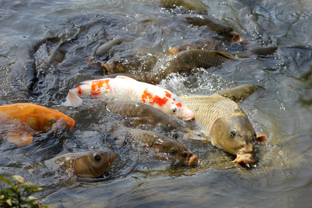rearing of fish: Japanese carps