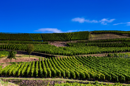 Vineyards on the wine road, Kaysersberg, Alsace, France