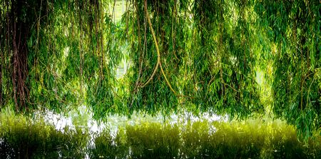 Weeping willow on a pond in santeny, france