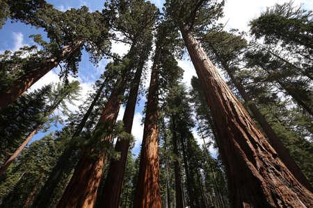 Sequoias at Mariposa Grove, Yosemite national park, california, usa Stockfoto
