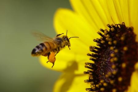 Een honingbij - Apis mellifera - op het punt om het land op een gele zonnebloem