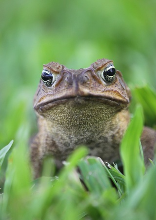 invasive:  Cane toad - Bufo marinus - also called a marine toad or Giant Neotropical Toad on grass. Stock Photo