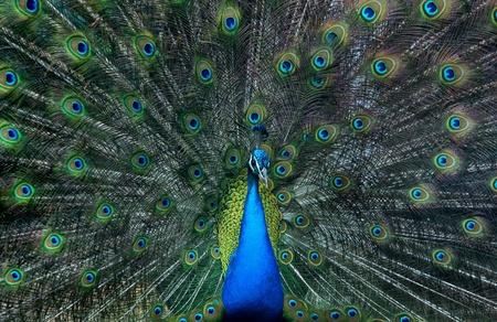 common peafowl: Male peacock, common peafowl, blue peafowl ( Pavo cristatus ) in mating display.