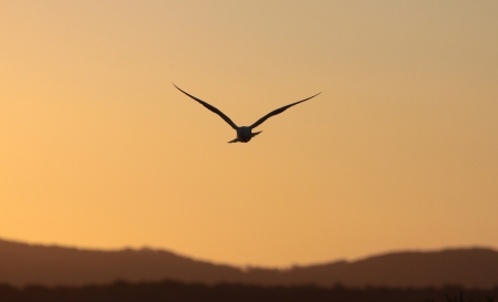 seagulls: A sea gull, also called a Silver Gull - Larus novaehollandiae - flying at sunset Stock Photo