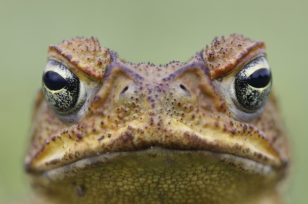 bufo bufo: Cane Toad - Bufo marinus - also known as a giant neotropical or marine toad.  Native to Central and South America but an introduced pest to Australia. Close-up on face Stock Photo