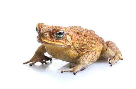 Cane Toad - Bufo marinus - also known as a giant neotropical or marine toad.  Native to Central and South America but an introduced pest to Australia. Isolated on white background.