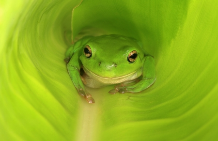 broad leaf: An Australian Green Tree Frog in a large broad leaf which has yet to fully unfurl.