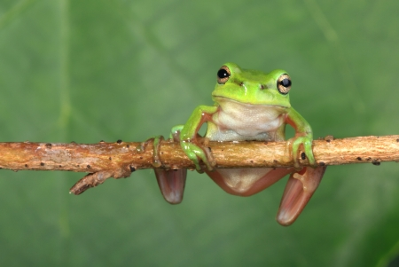 An Australian Green Tree Frog sitting on a horizontal length of vine. photo
