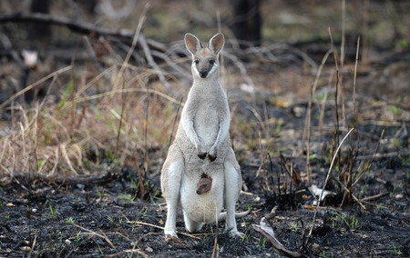 A Whiptail Wallaby, macropus parryi, kangaroo with a baby joey in her pouch standing in recently burned out Australian outback bushland. Stockfoto