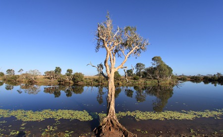the water hole: Eucalyptus  gum tree on the bank of an Australian Outback billabong water hole with a clear blue sky Stock Photo
