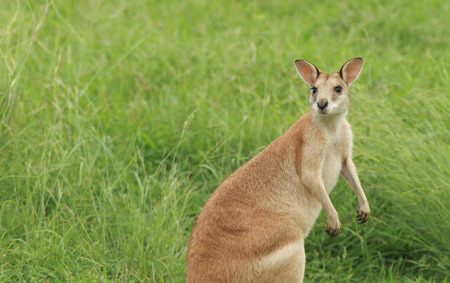 An Australian female Agile Wallaby - Macropus agilis - also known as a river wallaby or sand wallaby is startled while grazing on green grass in Australian bushland.    Photo Chris Ison Stock Photo