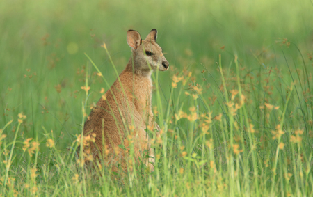 agile: An Australian female Agile Wallaby - Macropus agilis - also known as a river wallaby, sand wallaby or grass wallaby, feeding in tall green grass in the early morning.