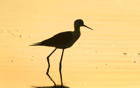 wader: A silhouette of a Black-winged Stilt - Himantopus himantopus - wading in shallow water at sunrise. Stock Photo