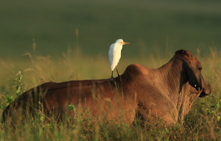 heifers: A Cattle Egret - Ardea ibis - standing on a heifers back in a rural outback Australian paddock early in the morning.