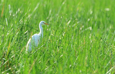 australian outback: Intermediate egret, Ardea intermedia -  standing in tall grass on the edge of an Australian outback billabong.