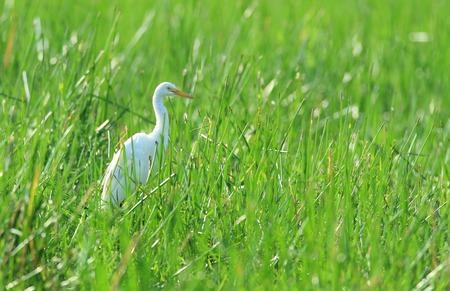 intermediate: Intermediate egret, Ardea intermedia -  standing in tall grass on the edge of an Australian outback billabong.