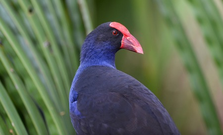 purple swamphen: A Purple Swamphen, Porphyrio porphyrio, sitting in a palm tree with green background.