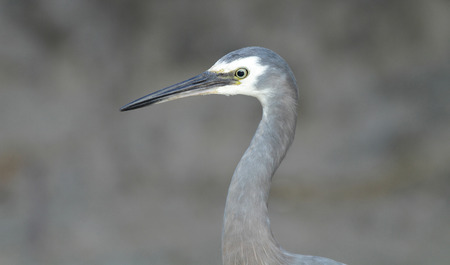 gray herons: Close up portrait of a White-faced Heron - Egretta novaehollandiae with grey out of focus background and copy space. Stock Photo