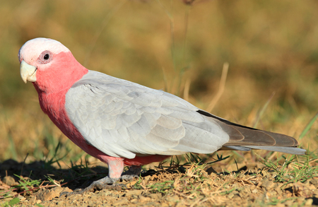 An Australian Galah - Eolophus roseicapillus - standing on the ground while eating grass seeds.