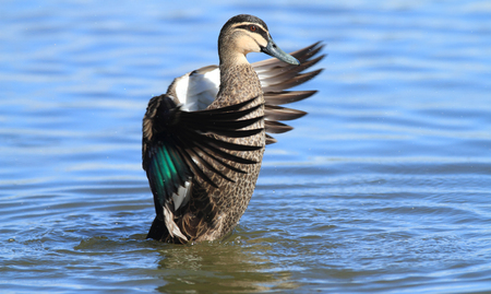 A Pacific Black Duck, Anas superciliosa, flapping its wings to dry its feathers in a blue fresh water lagoon.