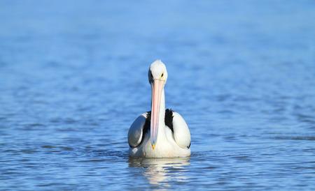An Australian Pelican - Pelecanus conspicillatus - swimming in a fresh water billabong or lagoon.