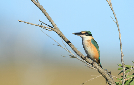 A Sacred Kingfisher, Todiramphus sanctus, sitting on a small branch overlooking a wetland creek. Stock Photo