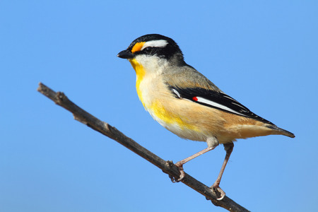 Striated Pardalote, Pardalotus striatus, sitting on a branch with a blue sky background.