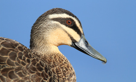 A Pacific Black Duck, Anas superciliosa, head and shoulder portrait with blue sky background.